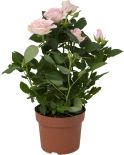Роза Кордана микс 25см 1шт в ассортименте